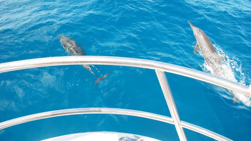 パラオツアーの観光スポットカヤンゲル島周辺のイルカ